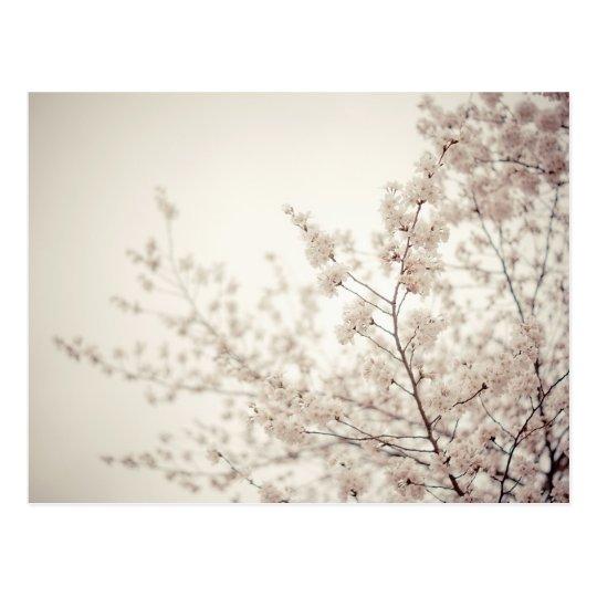 White Cherry Blossoms - Central Park Spring Postcard