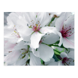 White Cherry Blossoms Photo Postcard