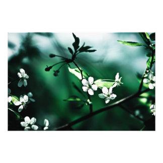 White Cherry Blossoms Photo Print