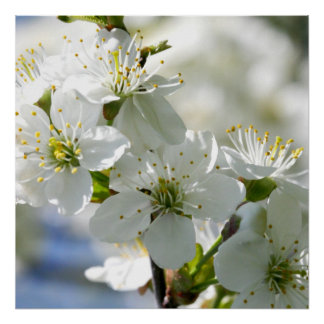 White Cherry Tree Blossoms Posters