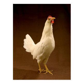 White Chicken Rooster Hen Postcard