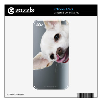 White Chihuahua licking lips iPhone 4S Decals