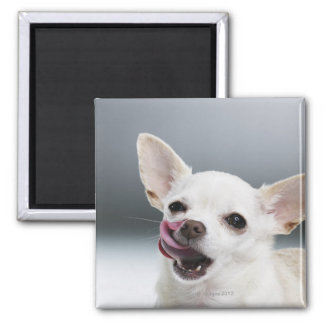 White Chihuahua licking lips Magnet