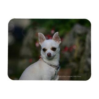 White Chihuahua Magnet