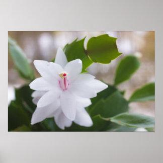 White Christmas cactus Schlumbergera CC0039 Flower Poster