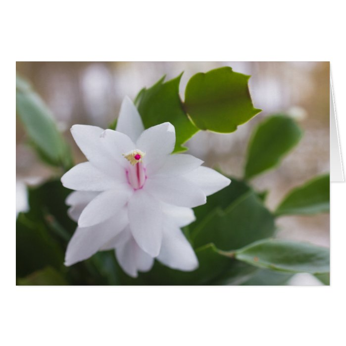 White Christmas cactus Schlumbergera CC0476 Flower Card