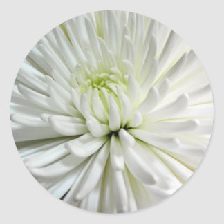 White Chrysanthemum Flower Mums Flowers Photo Round Stickers