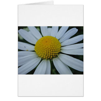 White chrysanthemum with yellow centre card