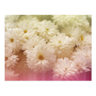 White Chrysanthemums with Pink Light Leaks Postcard