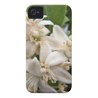 White citrus blossoms covered in dew blackberry bold covers