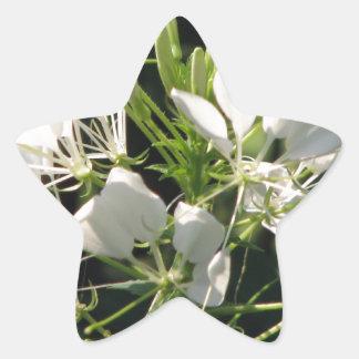 White Cleome' Spider flower Star Sticker