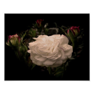 White Cloud Rose Poster