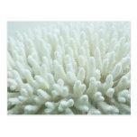 White Coral Postcard