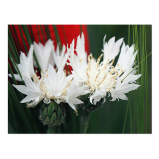 White cornflowers post cards