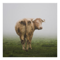 White Cow Bull looking Back in a Foggy Field Poster