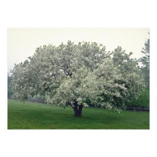white Crab apple tree, Quebec, Canada flowers Custom Announcement