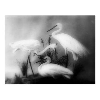 White cranes on the Grass Postcard