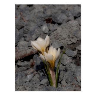 White Crocus Postcard