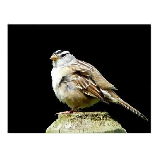 White Crowned Song Sparrow Postcard