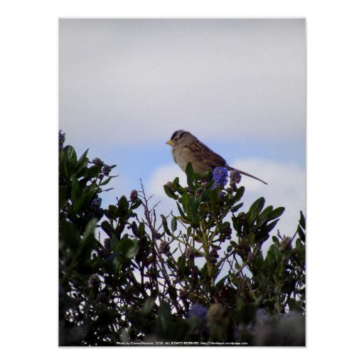 White crowned sparrow 3 poster