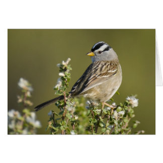 White-crowned Sparrow Card