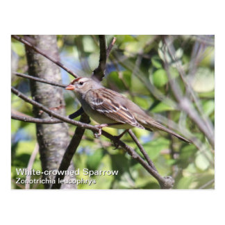 White-crowned Sparrow Postcard