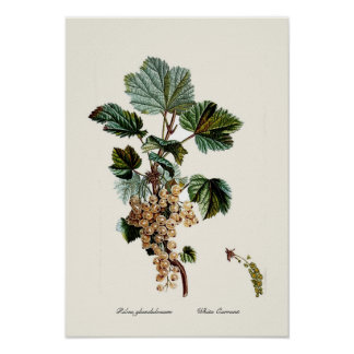 White Currant Poster