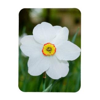 White daffodil flower magnet