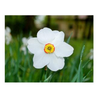 White daffodil flower postcard