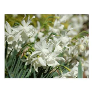 White Daffodil Photo Post Card