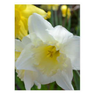 White Daffodil with Yellow Center Postcard