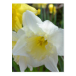 White Daffodil with Yellow Center Postcards
