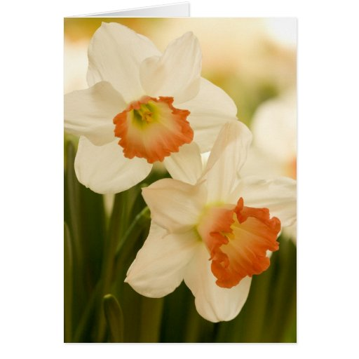 White Daffodils Cards
