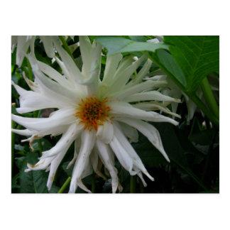 White Dahlia begins to fade - photograph Postcard