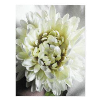 White Dahlia Chrysanthemum Large Flower Photograph Postcard