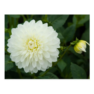 White Dahlia DSC4460 Post Card