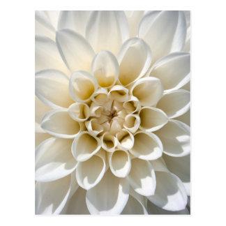 White Dahlia Flower Postcard