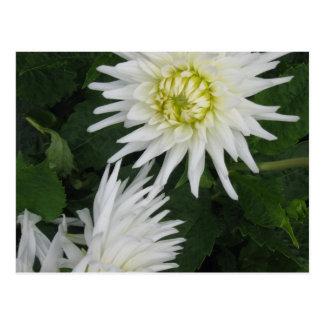 White Dahlia - photograph Postcard