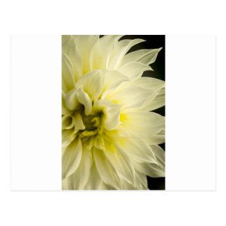 White Dahlia Postcard