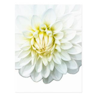 White Dahlia. Postcard