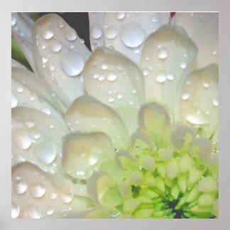 White Dahlia Raindrops Poster
