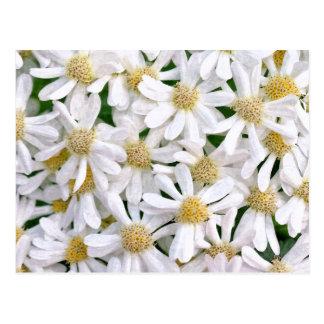White dahlias postcard