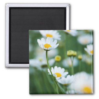 White Daisies in a Field - Customized Daisy Magnet
