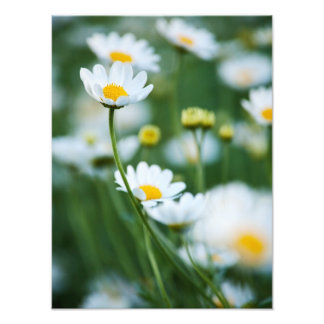 White Daisies in a Field - Customized Daisy Art Photo