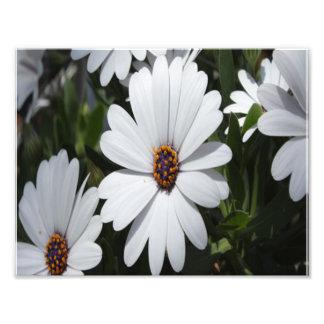 White Daisies in Bloom Photo Art