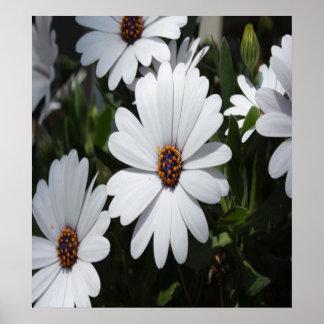 White Daisies in Bloom Print