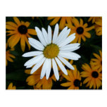White Daisy and Blackeyed Susans Postcard