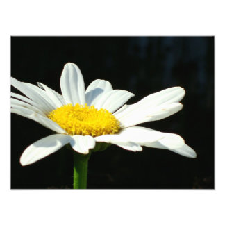 White Daisy Art Photo