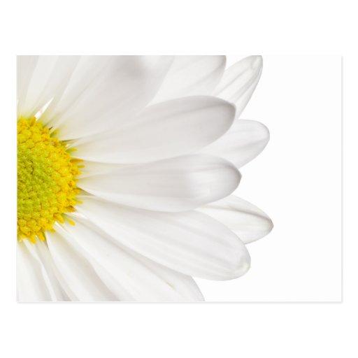 White Daisy Flower Background Customized Daisies Postcard