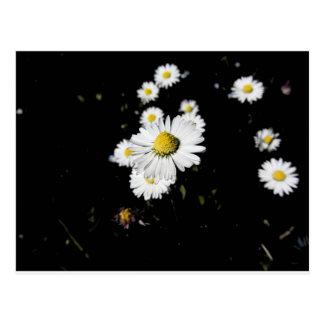White daisy flowers on dark background postcard